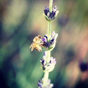 Bumblebee, early spring, Sonoran desert.