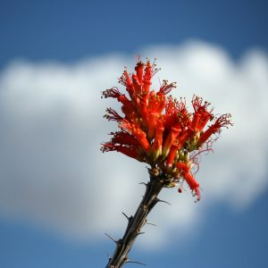 Ocotillo bloom against puffy cloud.