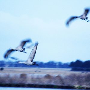 Sandhill cranes above the Platte River, central Nebraska.