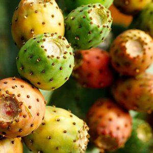 Orange tuna prickly pear fruit before ripening.