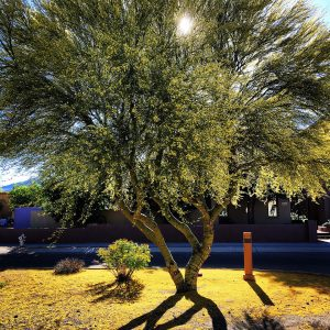 Morning light through a blooming palo verde, with a carpet of flower petals below.