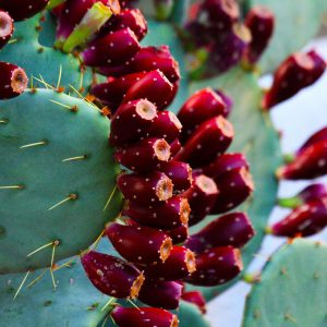 Prickly pear fruit ripe for the picking (if you dare).
