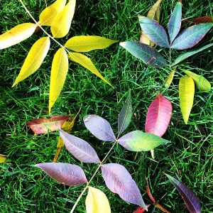 Chinese elm leaves on winter grass in the community of Civano.