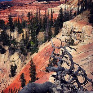 Ancient juniper roots at Cedar Breaks National Monument.