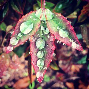 Rainfall on a leaf.