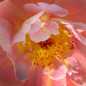 Macro view of a rose growing in Simmons's backyard.