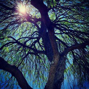 Sunlight through a large mesquite.