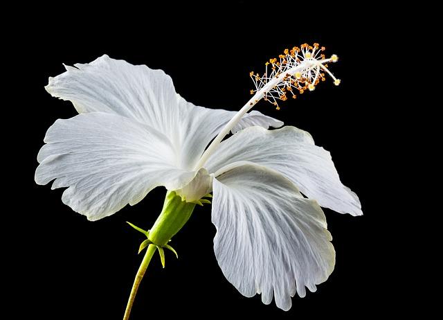 10 plante care ajuta la ingrijirea tenului - nalba mare