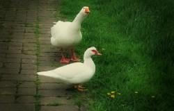 Gans, die ihren Hals vorstreckt, mit Ente im Vordergrund