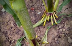 Gleich wird der Mais mit seinen Klauenfüßen den ersten Schritt machen ...