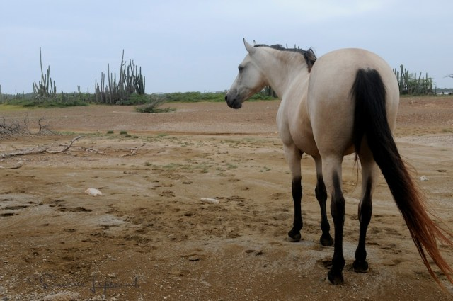 Random, wandering horse in desert. Bonaire, N.A.