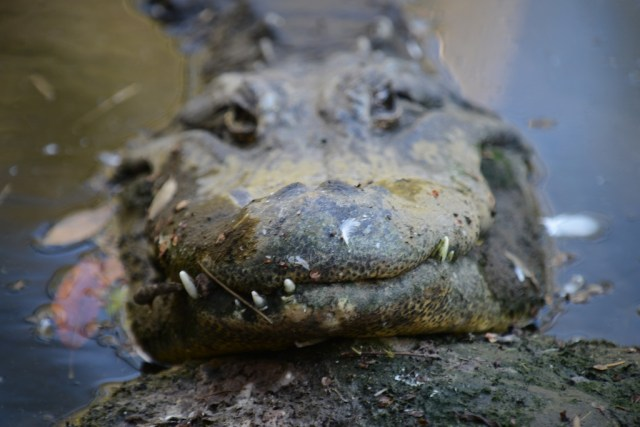 Gator smile by Simone Lipscomb