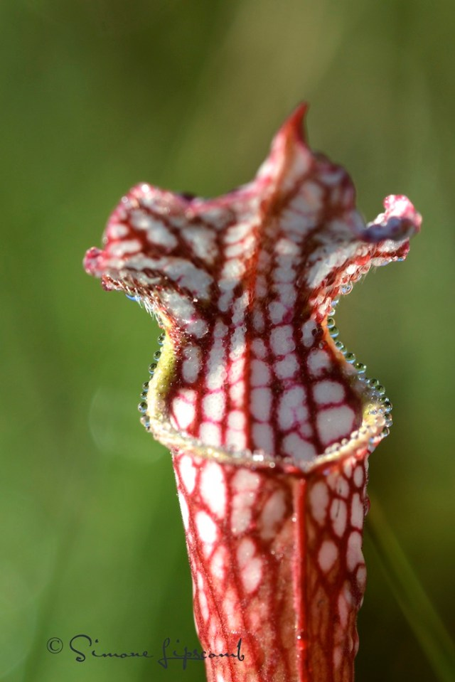 Pitcher plant sprinkled with dew.