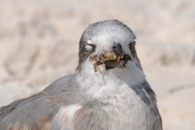 Fishing line discarded with hook...now embedded in sea gull's mouth/throat