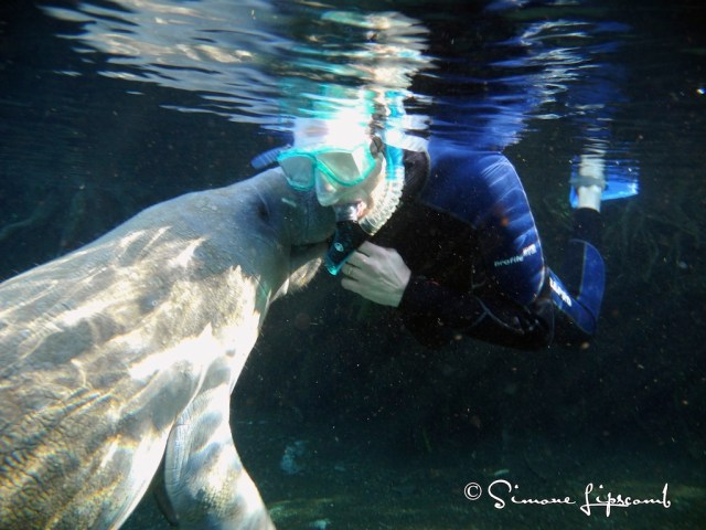 A manatee kissing a human...