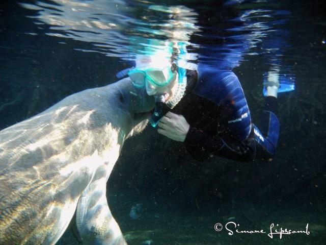 A manatee kissing a human...