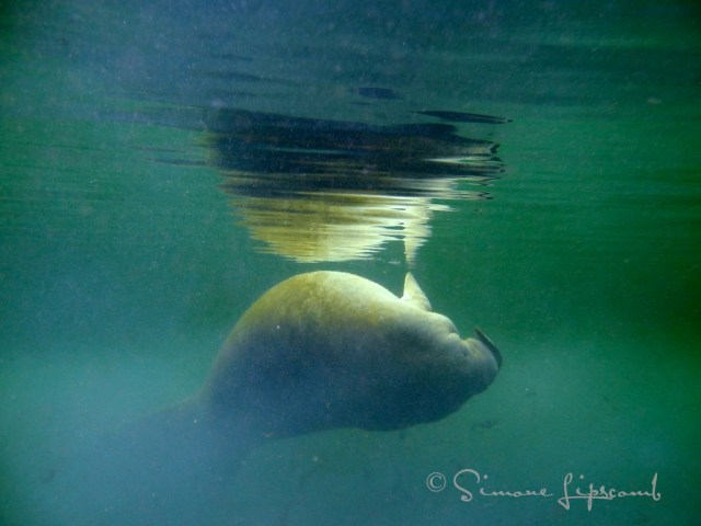 Manatee rolling in green water