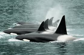 Internet image of orcas