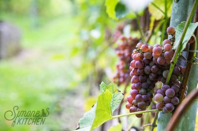 Druiventrossen aan een druivenrank