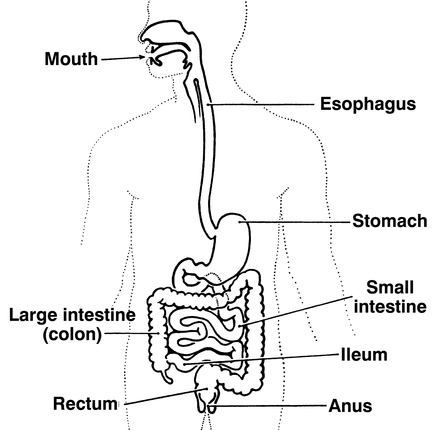 stomach diagram to label