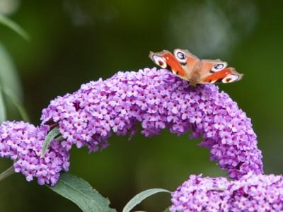 20090802 - Butterfly -090802 -001