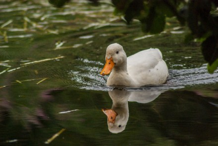 Duck with reflection