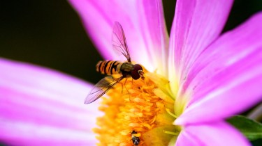 hoverfly on flower