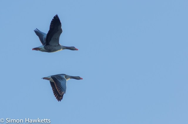 A picture of two geese in flight with their wings pointing in opposite directions
