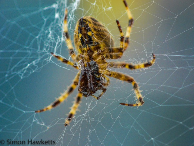 A macro photo of a female spider eating a male spider
