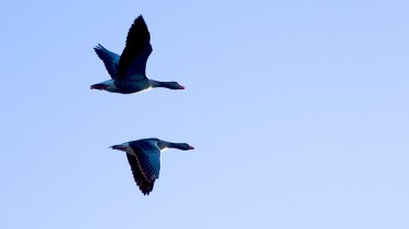 The Lucky moment - geese in flight
