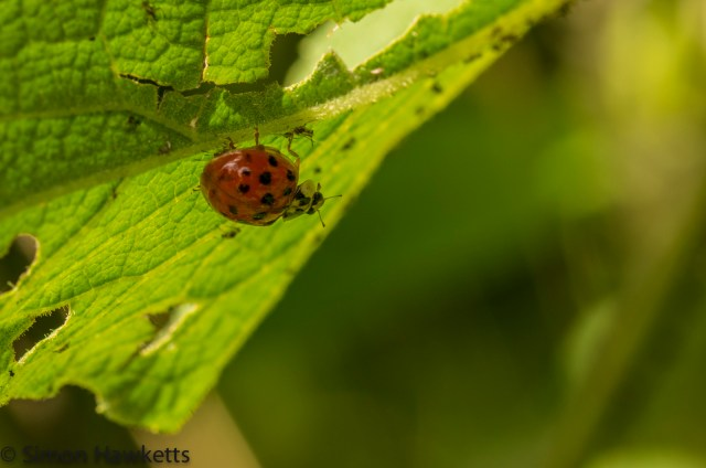 Wimpole Hall in Cambridgeshire pictures - Ladybird under a leaf