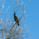 A heron in the tree at Fairlands