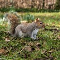 Sony Nex 6 sample pictures - Squirrel in St Georges Playing Fields