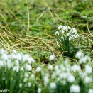 Jupiter 11 sample - snowdrops
