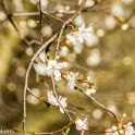 Sony Nex 6 with Tamron 90mm macro lens - Blossom