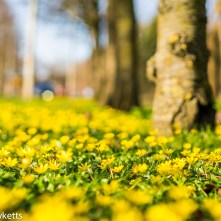 Nex-6 and Pentax smc 50mm f/1.7 prime pictures - Blanket of buttercups