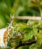 Orange tip butterfly 3