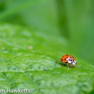 Macro pictures without a macro lens - Ladybird
