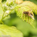 Macro pictures without a macro lens - Bee