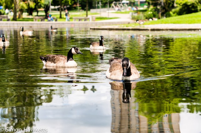 Minolta 50mm f/1.7 sample pictures - Geese on the pond