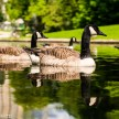 Minolta 50mm f/1.7 sample pictures - Geese