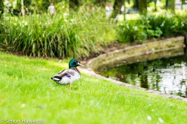Minolta 50mm f/1.7 sample pictures - Two ducks