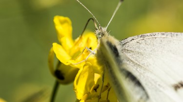 Sony Nex 6 and Tamron 90mm f/2.8 pictures - Common white butterfly