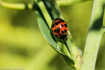 Sony Nex 6 and Tamron 90mm f/2.8 pictures - Ladybird