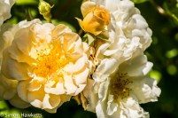 Sony Nex 6 and Tamron 90mm f/2.8 pictures - Rose