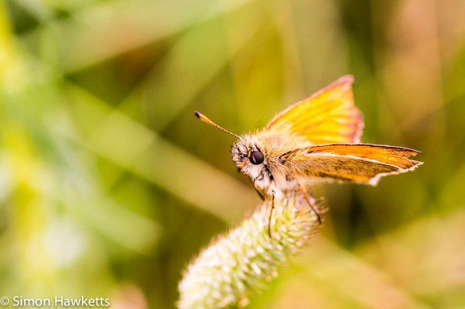 Tamron 90mm f/2.8 macro pictures - Skipper butterfly