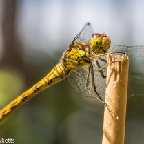 Macro picture of Dragonfly - Clinging on to a post