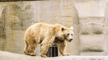 35mm colour slide pictures from London Zoo in the early 1980s - Brown Bear