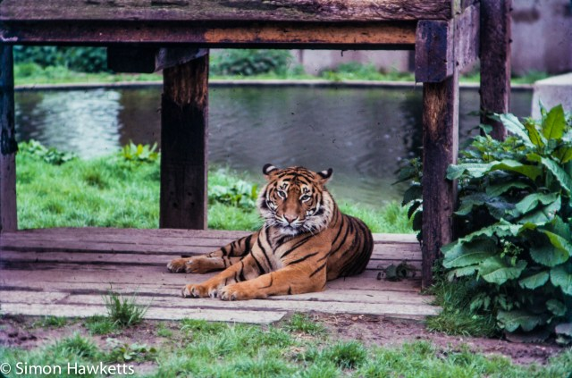 35mm colour slide pictures from London Zoo in the early 1980s - Tiger