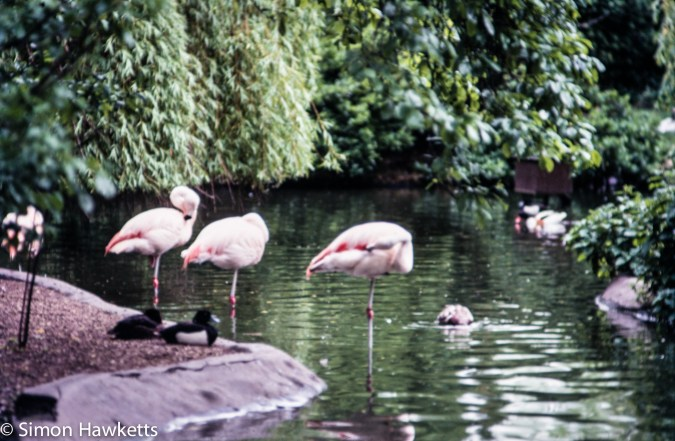 35mm colour slide pictures from London Zoo in the early 1980s - Flamingo